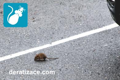 jak vypadá potkan hubit deratizace Praha