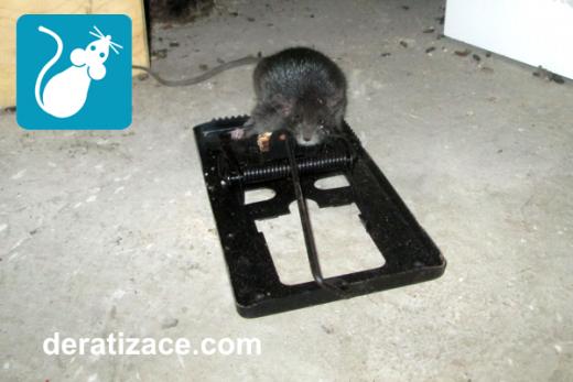 Jak vyhubit potkany rychle deratizace Praha